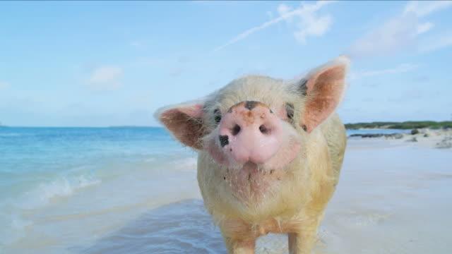 stockvideo's en b-roll-footage met pig island in paradise tourist attraction bahamas caribbean - bahama's