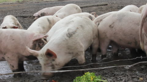 pig on the farm. - audio available stock videos & royalty-free footage