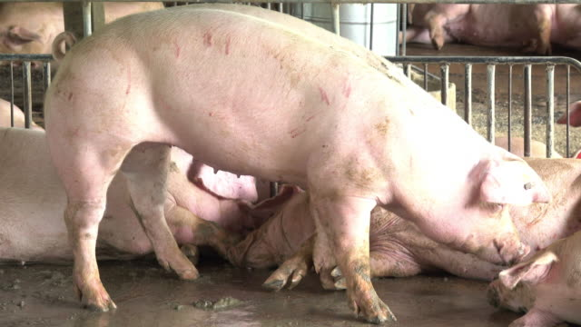 pig playing in a farm - animal pen stock videos & royalty-free footage