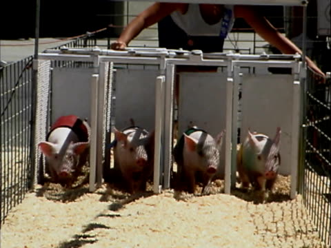 pig racing - pig stock videos and b-roll footage