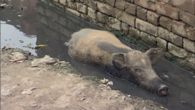 MS Pig resting in pool of mud in slums, Agra, Uttar Pradesh, India
