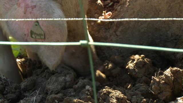 stockvideo's en b-roll-footage met pig scrounging in mud - neus van een dier