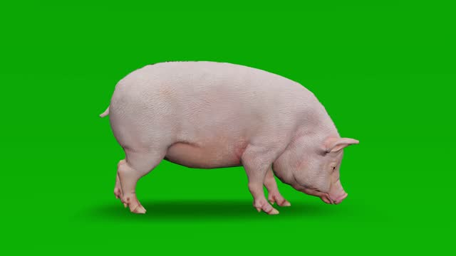 pig sniffle on green screen. the concept of animal, wildlife, games, back to school, 3d animation, short video, film, cartoon, organic, chroma key, character animation, design element, loopable - silhouette stock videos & royalty-free footage