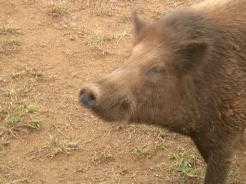 maiale individuano - naso di animale video stock e b–roll