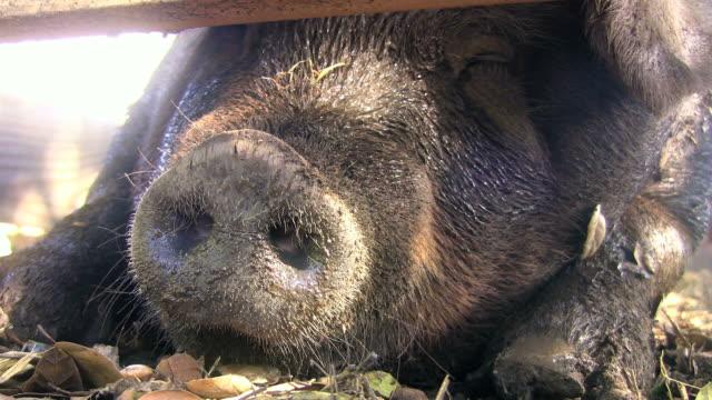 vídeos y material grabado en eventos de stock de hocico de cerdo (hd - nariz de animal