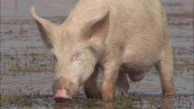 pig splashes through marshland available in hd. - pig stock videos & royalty-free footage