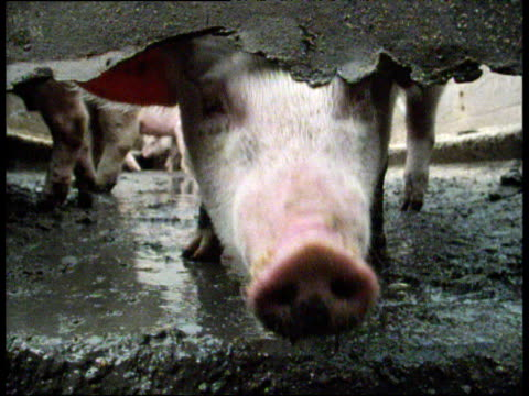 Pig standing in muddy farmyard pen shivers and sticks snout through hole in fence cut to two pigs doing the same