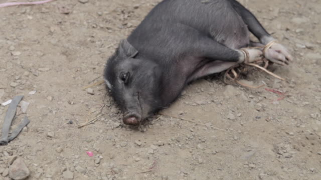 ms pig tied up and laying on ground / xam neua, laos - pig stock videos and b-roll footage