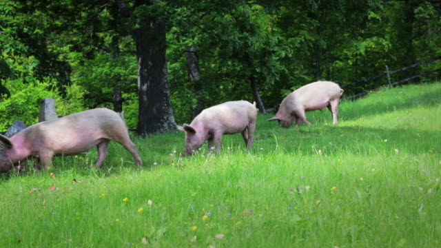 stockvideo's en b-roll-footage met pig - varken
