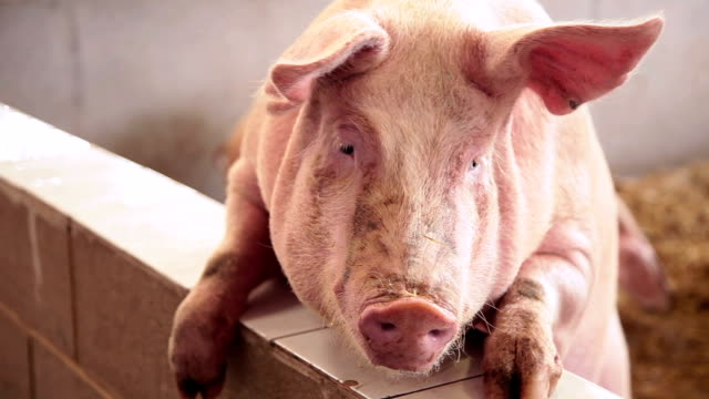 pig... - pig stock videos and b-roll footage