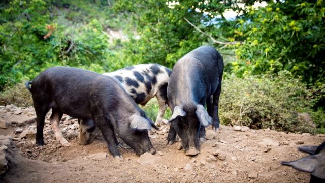 pig - organic stock videos & royalty-free footage