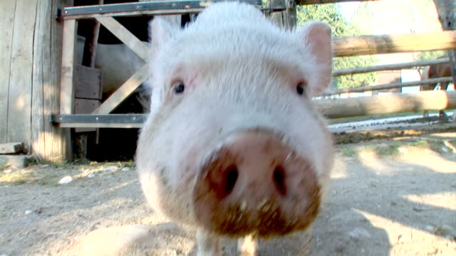 stockvideo's en b-roll-footage met hd slow-motion: pig - varken