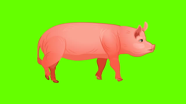 pig walk cycle animation - livestock stock videos & royalty-free footage