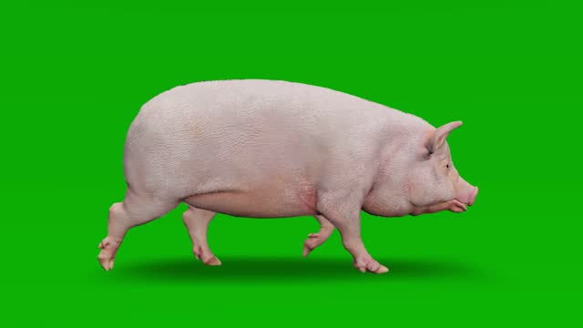 pig walking animation on green screen. the concept of animal, wildlife, games, back to school, 3d animation, short video, film, cartoon, organic, chroma key, character animation, design element, loopable - pig stock videos & royalty-free footage
