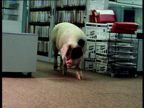 Pig walks past filing cabinet into office