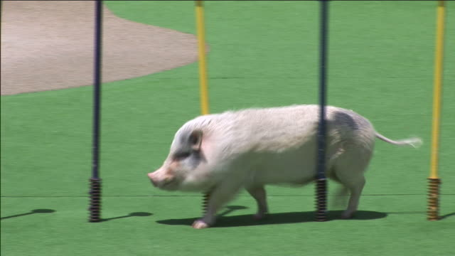 a pig weaves in and out of poles on an obstacle course. - hindernisparcours stock-videos und b-roll-filmmaterial