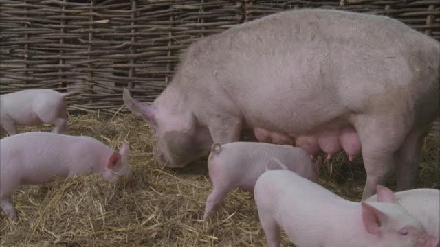 cu, pig with piglets in pigpen - kleine gruppe von tieren stock-videos und b-roll-filmmaterial