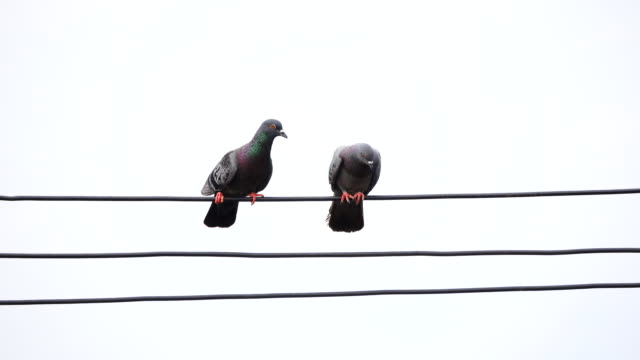 pigeon birds on cable wires - two animals stock videos and b-roll footage