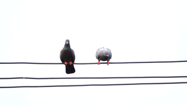 pigeon birds on cable wires - two animals stock videos & royalty-free footage