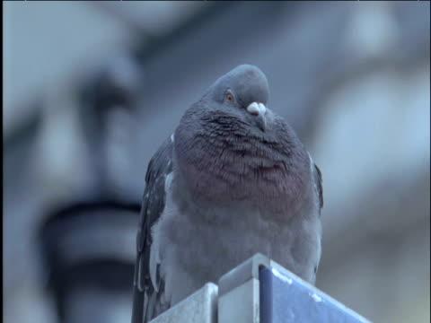 pigeon blinks and calls trafalgar square london - 小さめのハト点の映像素材/bロール
