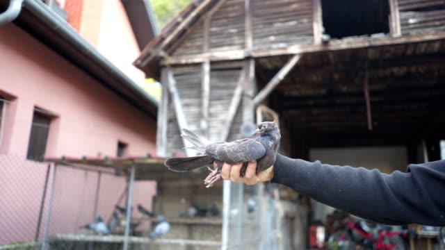 pigeon breeder holding a pigeon in hand - breeder stock videos and b-roll footage