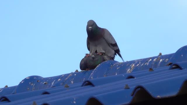 stockvideo's en b-roll-footage met duif fokken op het dak - parende dieren