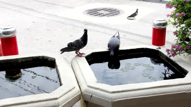 pigeon eat water