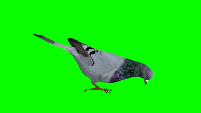 pigeon eating green screen (loopable) - colomba video stock e b–roll