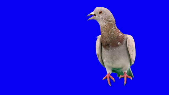 Pigeon excited and frightened
