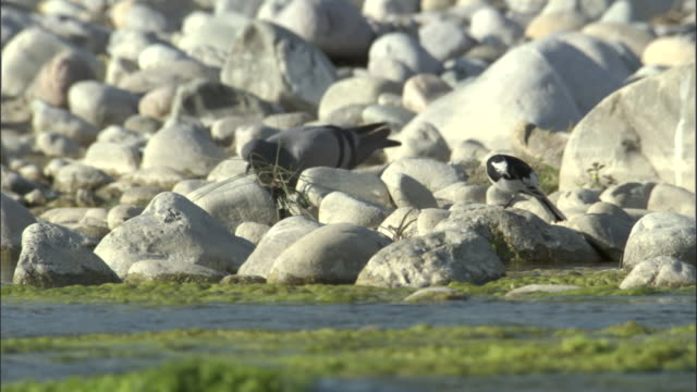 pigeon feeds near scratching pied wagtail on bank of kosi river, india available in hd. - apparato digerente animale video stock e b–roll