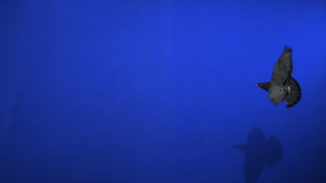 A pigeon flies across a blue screen. Available in HD.