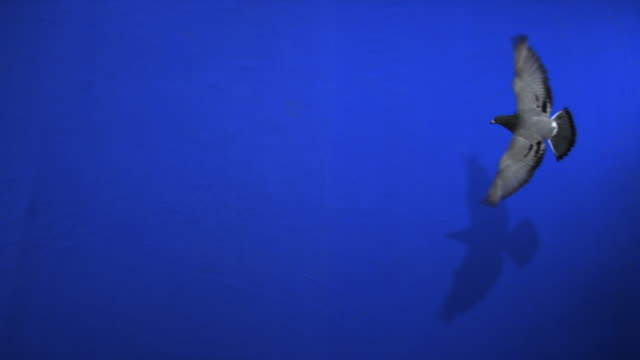 A pigeon flies past a blue screen. Available in HD.