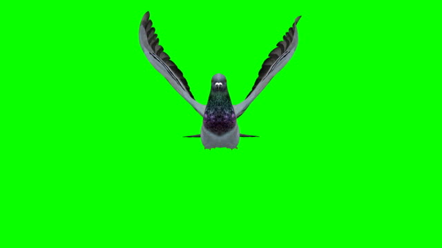pigeon flying green screen (loopable) - flapping wings stock videos & royalty-free footage