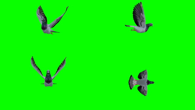 vídeos de stock e filmes b-roll de pigeon flying green screen (loopable) - asa de animal