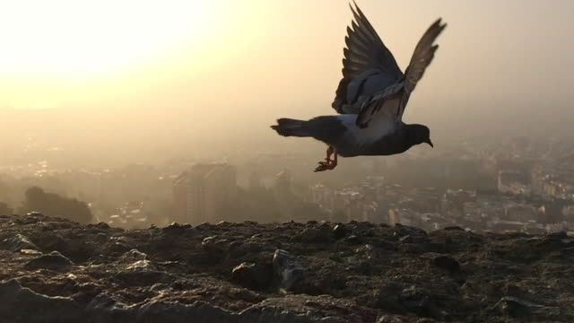 pigeon flying in slow motion recorded from the spanish civil war bunkers of turo de la rovira on sunrise with the city views. - större duva bildbanksvideor och videomaterial från bakom kulisserna