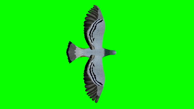 pigeon gliding screen (loopable) - top video stock e b–roll