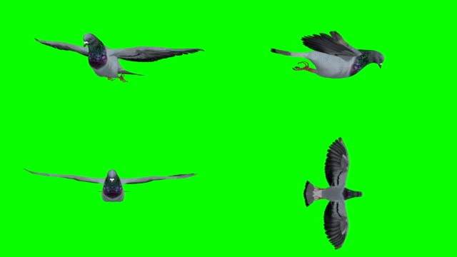 Pigeon Gliding Screen (Loopable)