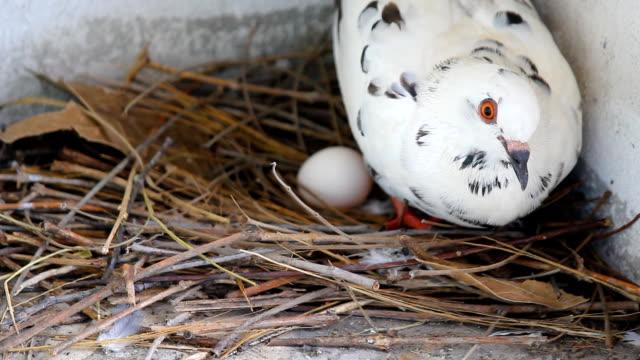 vídeos de stock, filmes e b-roll de pigeon nascendo. - peitoril de janela