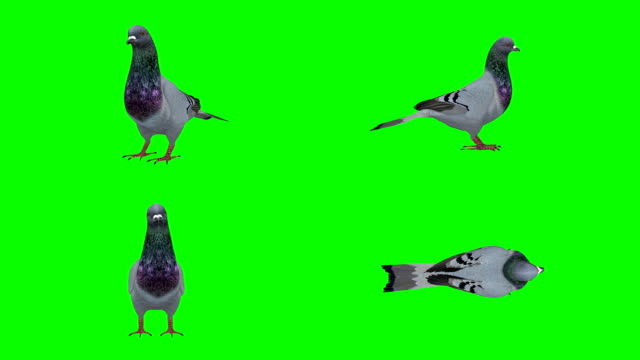 pigeon idle green screen (loopable) - green matte stock videos & royalty-free footage