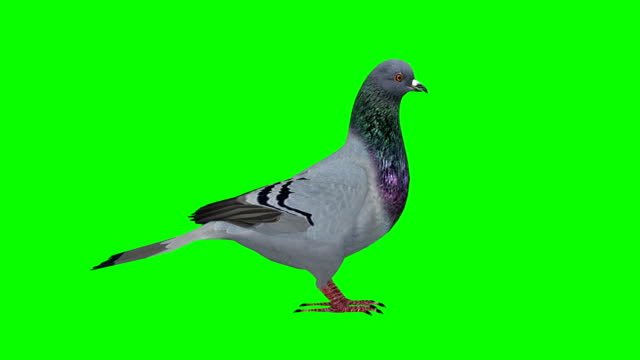 Pigeon Idle Green Screen (Loopable)