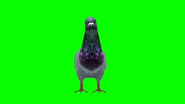 ピジョンアイドルグリーンスクリーン(ループ可能) - 小さめのハト点の映像素材/bロール