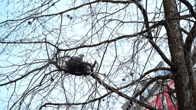 vidéos et rushes de a pigeon in a nest that is on a tree on a clear sky day in spring. berlin. germany. - nid