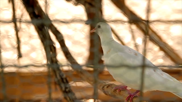 vídeos de stock, filmes e b-roll de pombo na gaiola - cativeiro