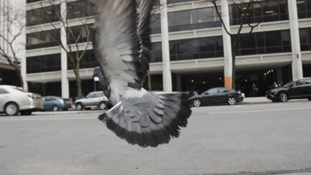 Pigeon in the streets of New York