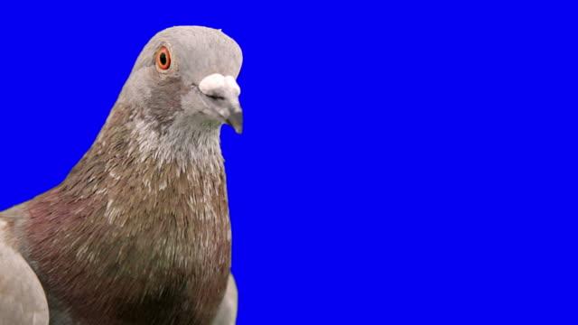 pigeon look alla telecamera - battere le ali video stock e b–roll