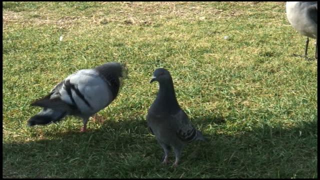 vídeos y material grabado en eventos de stock de hd: pigeon amor, un acoplamiento y strutting - paso largo
