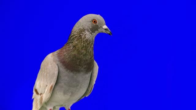 Pigeon on blue chroma key