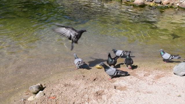 vidéos et rushes de pigeon sur la côte - chasse aux oiseaux