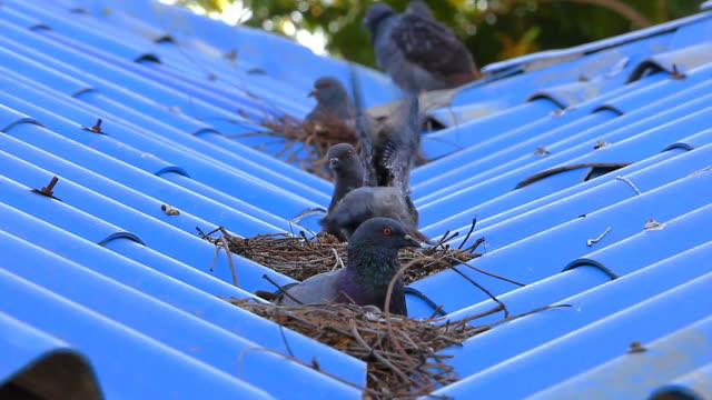 pigeon on the roof - bird's nest stock videos & royalty-free footage