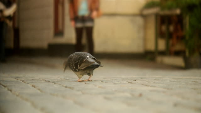 pigeon on the street in the old town of stockholm sweden. - cobblestone stock videos & royalty-free footage